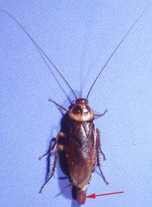 American Cockroach Exterminator