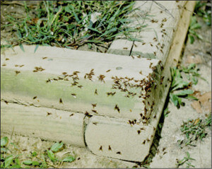 Ants Exterminator before picture