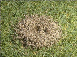 Ants Exterminator ant hill before picture
