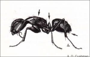 Carpenter Ants Exterminator