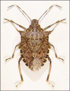 Stink Bugs Exterminator