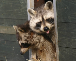 Protect Your Home From Raccoon Damage Action Pest